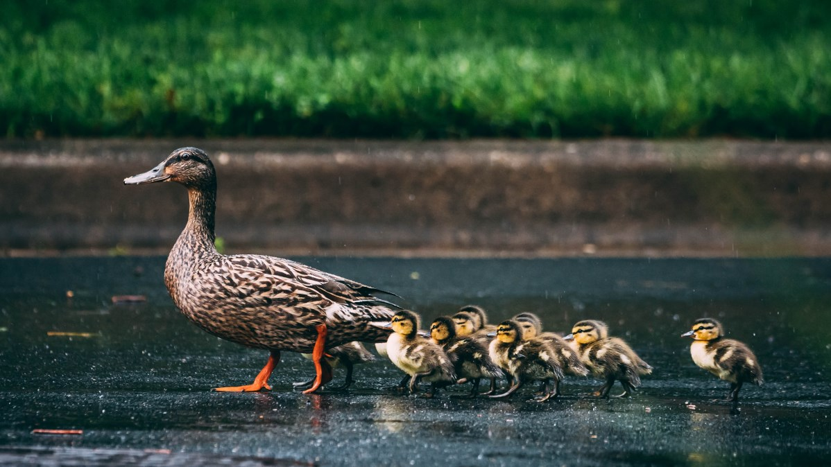 Distributed Computing Explained Simply… With Ducks!